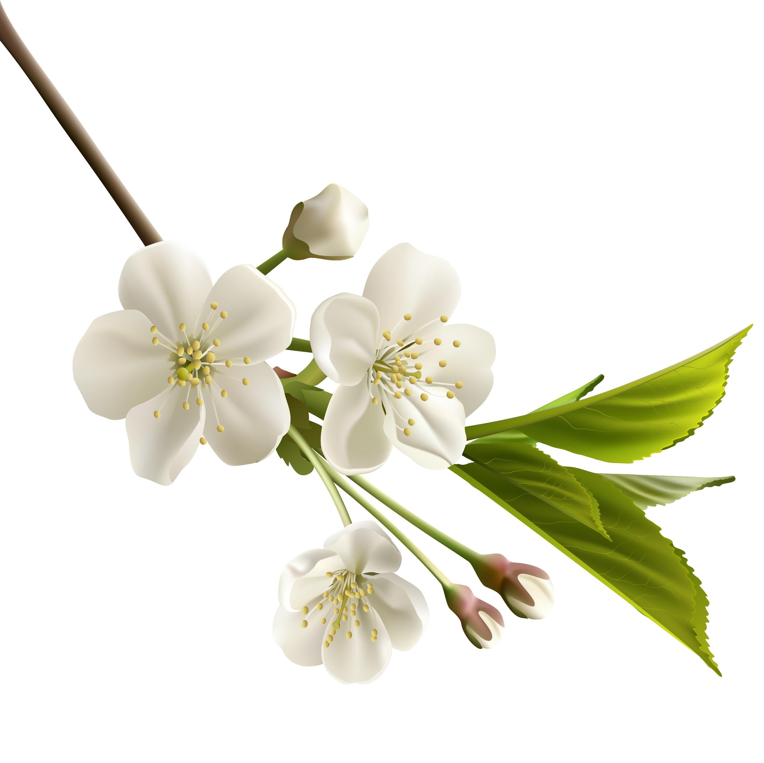 Цветок черешни